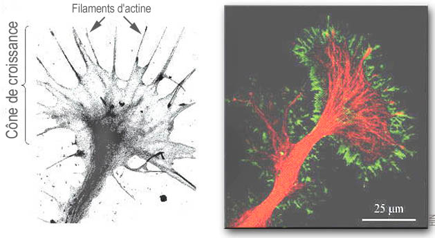 'Two microscopy images of the growth cone, the growing nerve cell's hand.'